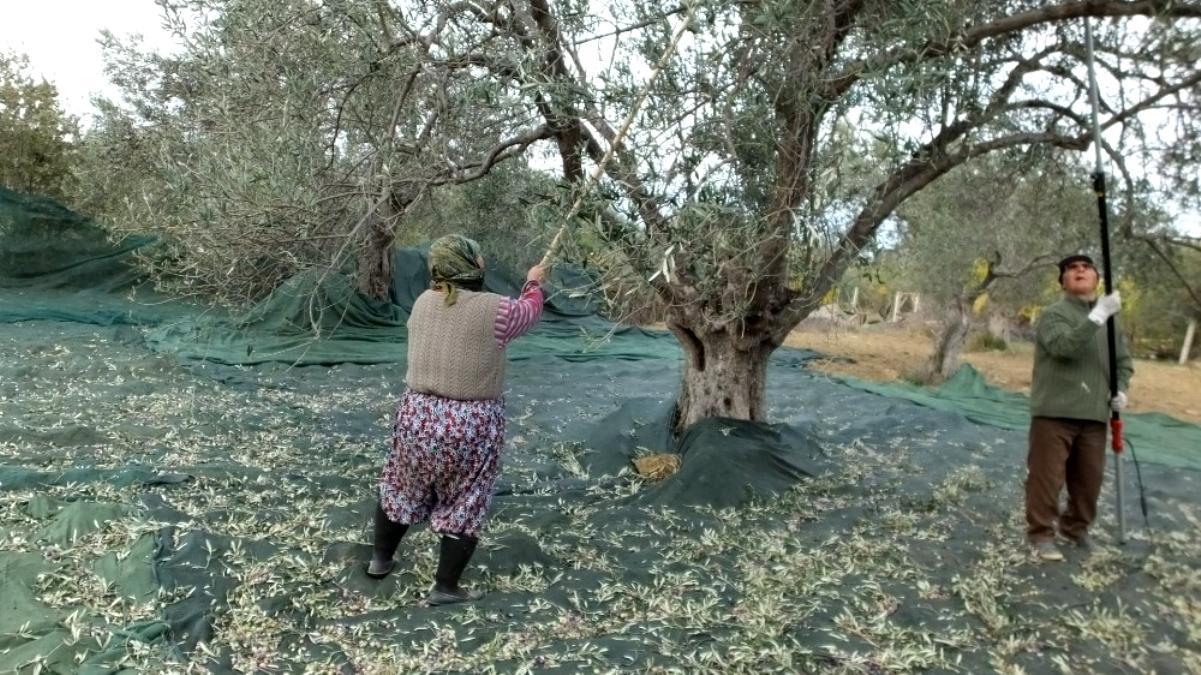 Zeytin hasadında erkek sırıkçı bulunamayınca kadınlar sırık işine el attı