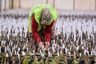 26 bin ceviz ve 35 bin çeşitli ağaç fidanları aşılandı