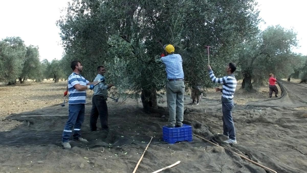 Burhaniye de nisan yağmurları zeytincileri sevindirdi