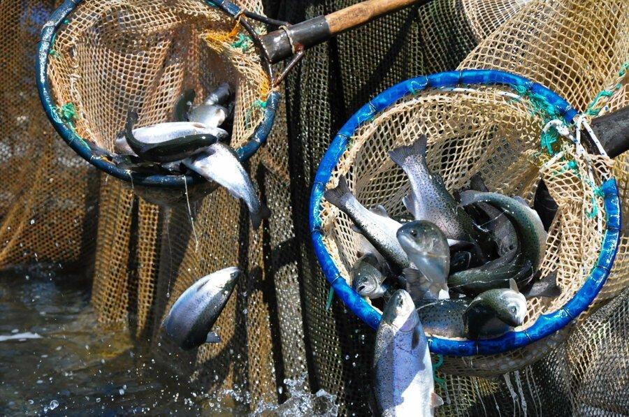 Denizi olmayan Manisa'dan dünyaya balık ihraç ediliyor
