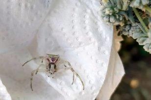 İnsan yüzlü örümcek görenleri hayrete düşürdü