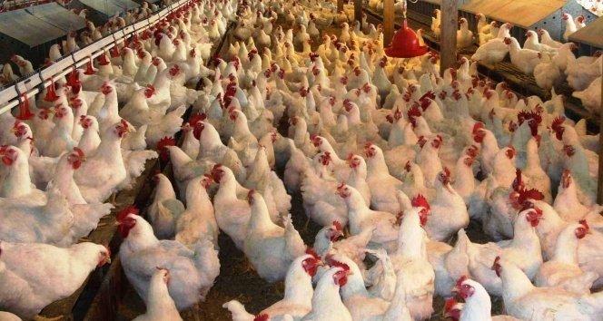 Tavuk fiyatlarında artış yüzde 20'yi buldu