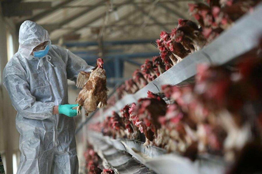 Kuş gribi yeniden ortaya çıktı: Çiftliklerde önlemler üst seviyeye çıkartıldı